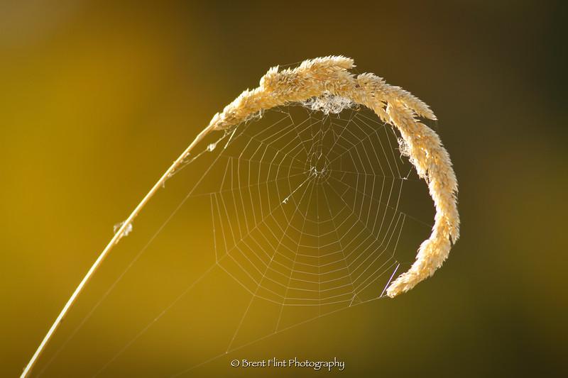DF.4873 - Grass head with spider web, Turnbull National Wildlife Refuge, WA.
