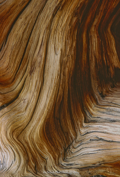 S.837 - woodgrain of bristlecone pine, Mt. Evans, CO.