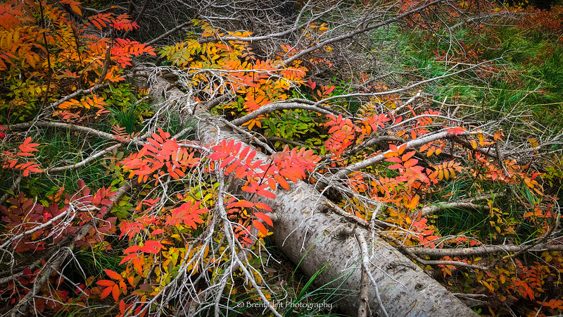 DF.4884 - Fall color of mountain ash growing through the remains of an old subalpine fir, Scotchman Peak, Kaniksu National Forest, ID.