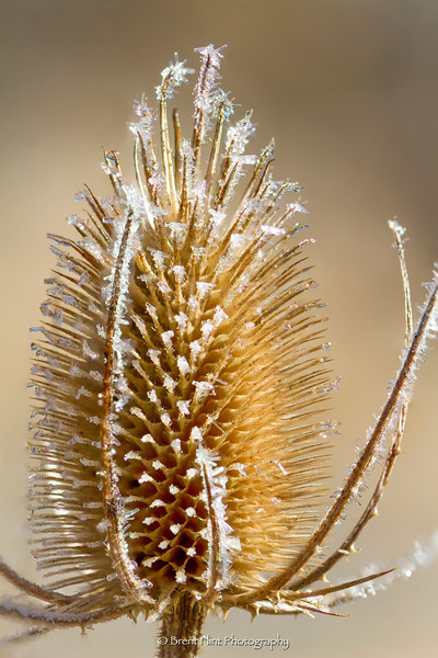 DF.5045 - Dried teasel head with frost, Liberty Lake County Park, WA.
