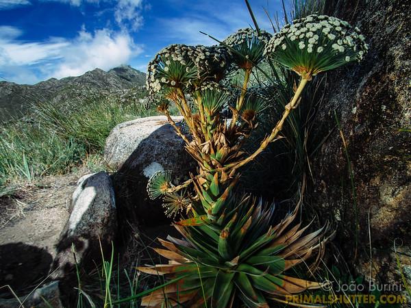 Actinocephalus flower in Itatiaia highlands
