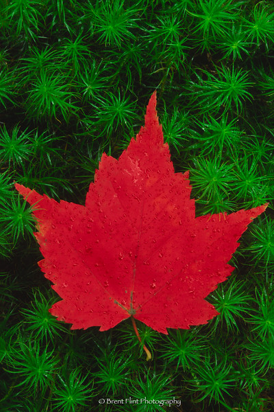 S.3409 - red maple leaf on haircap moss, Itasca County, MN.