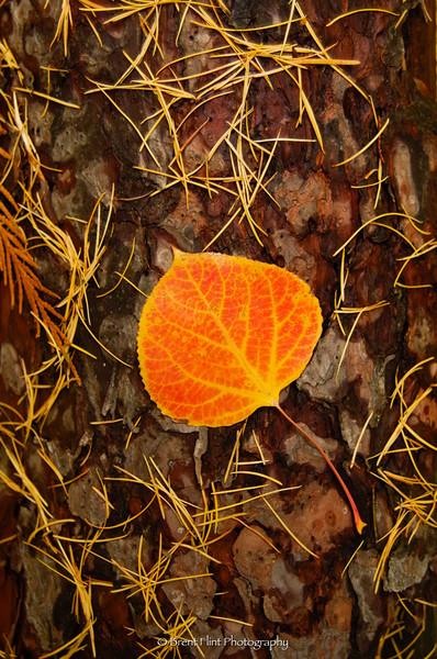 DF.3810 - Quaking aspen leaf on pine bark, Pend Oreille WMA, Trout Creek Segment, ID.
