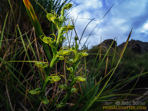 Green orchids in a high altitude landscape