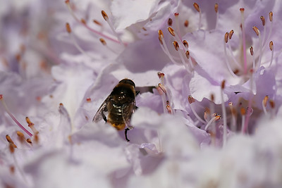 Bee in flowers