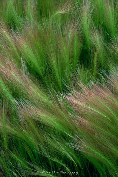 S.717 - foxtail barley, Douglas County, CO.