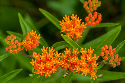 Orange Butterfly Milkweed