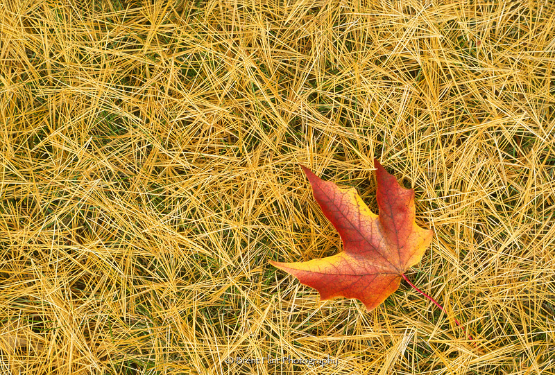 S.2216 - black maple leaf on bed of white pine needles, Itasca County, MN.