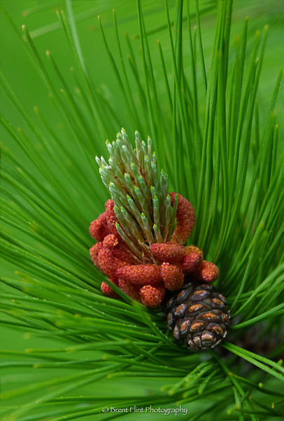 S.3290 - red pine, new shoots & cones, Itasca County. MN.