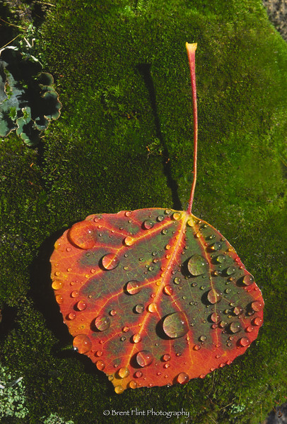 S.1816 - aspen leaf on moss, Pike National Forest, CO.