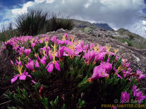 Shrub covered in purple flowers in the high altitude landscape of Itatiaia