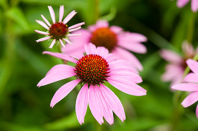 Purple Cone Flowers 2