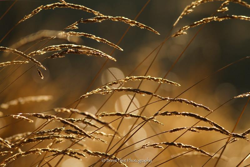 DF.3455 - backlit grass seed heads,  Liberty Lake County Park, WA.