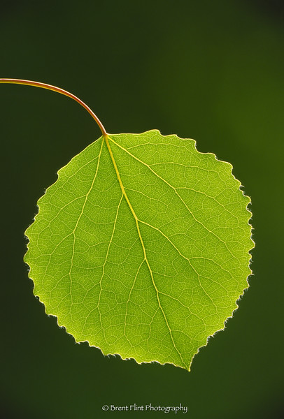 S.2889 - Hybrid aspen leaf/ backlit, Itasca Co., MN.