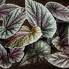 Begonia Leaves.