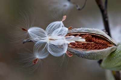 Milkweed Beauty