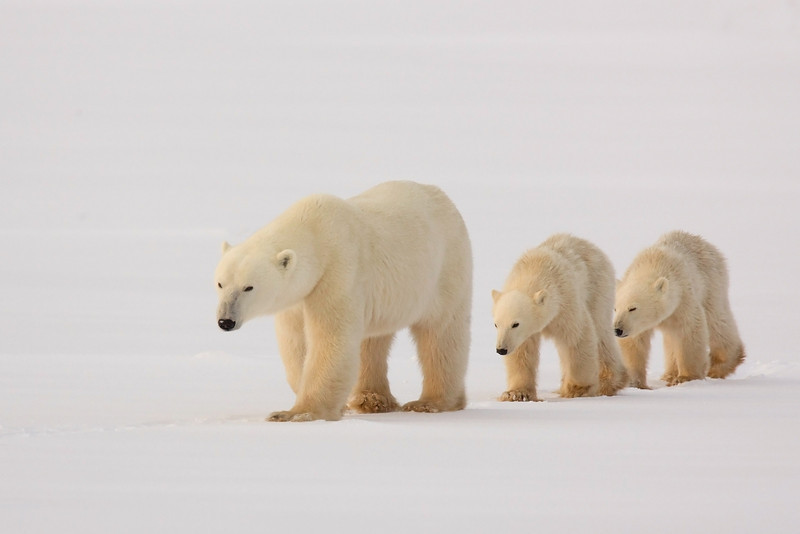Polar Bear with her two Cubs John Chapman.