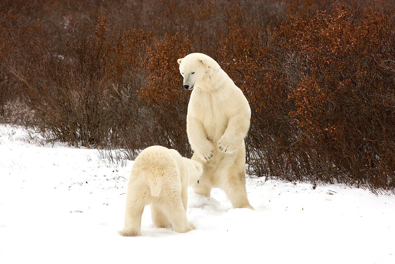 Polar Bears squaring up.