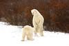 Polar Bears squaring up.