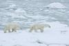 Polar Bears. John Chapman.