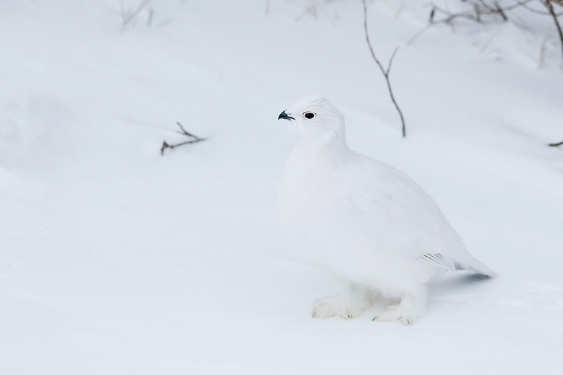 Female Ptarmigan. John Chapman.