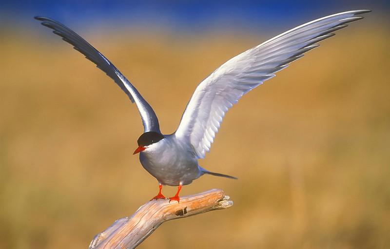 Arctic. Tern.