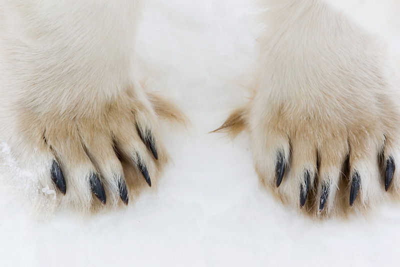 Polar Bear's Feet.