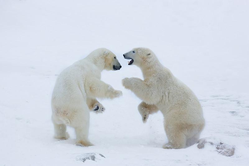 Churchill Polar Bears. John Chapman.