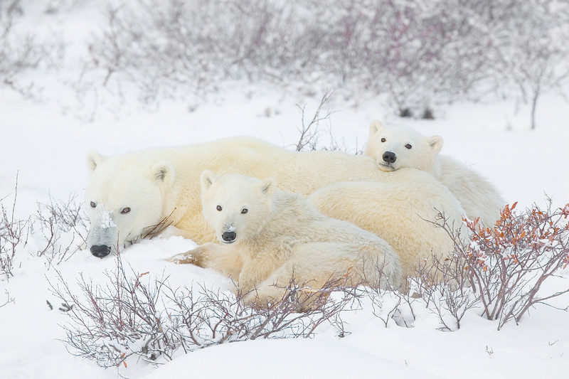 Polar Bear Family. John Chapman.