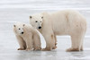 Polar Bear with Cub.