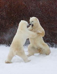 Polar Bears Sparring. John Chapman.