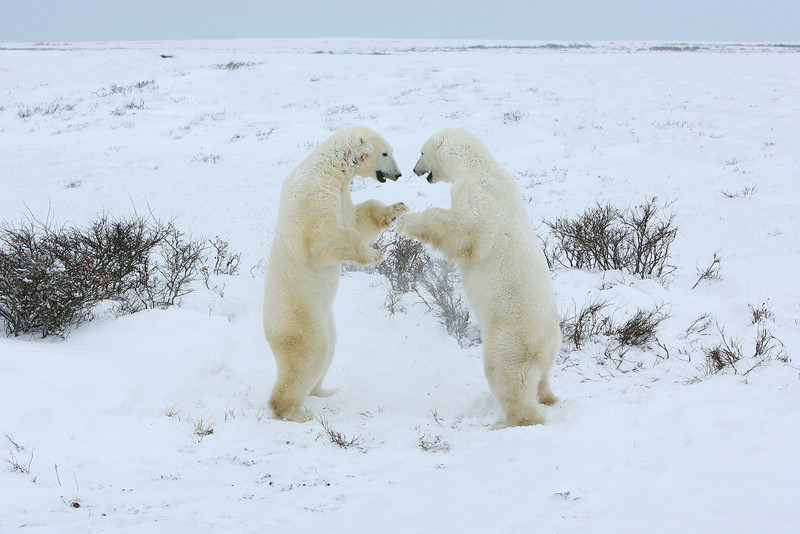 Polar Bears sparring.