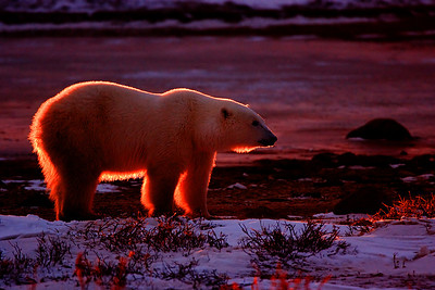 Polar Bear with Back Lighting. John Chapman.