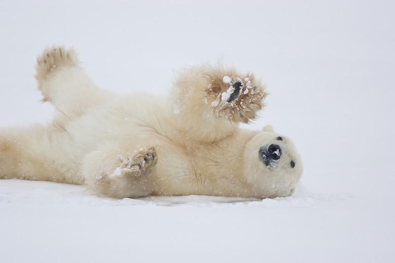 Polar Bear. John Chapman.