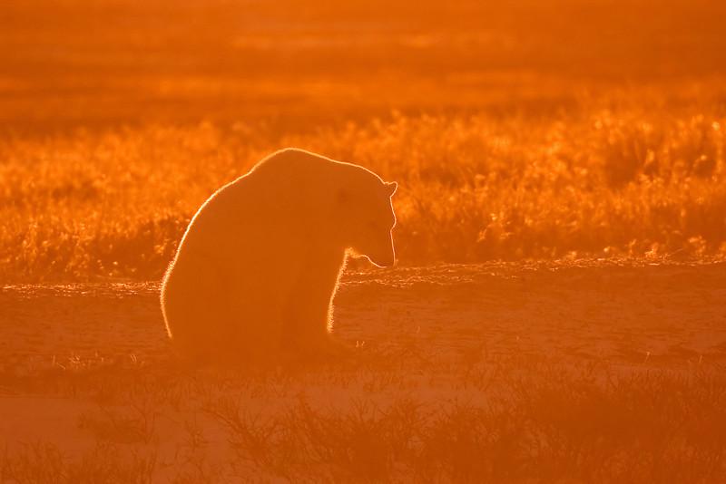 Polar Bear in late evening light.