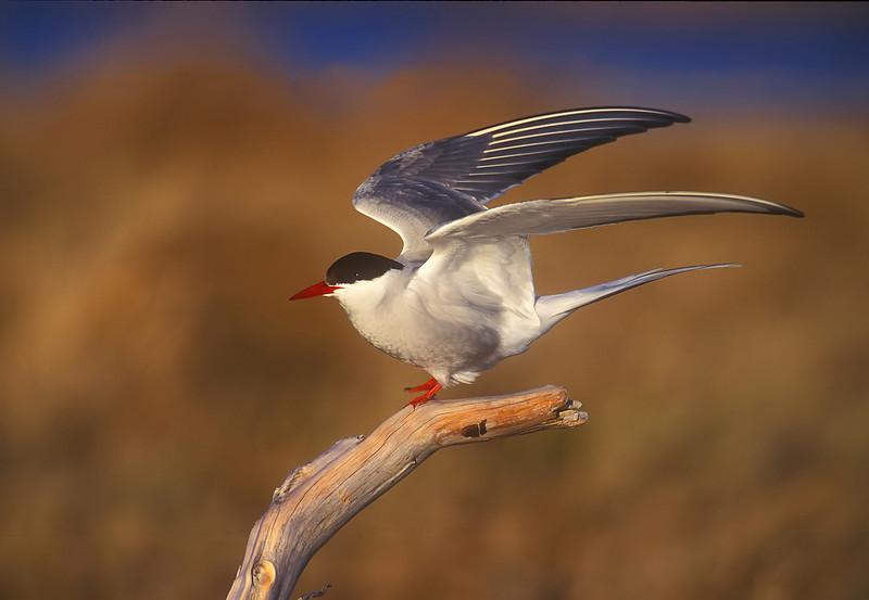 Arctic Tern.