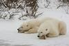 Polar Bears resting.