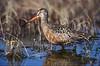 Female Hudsonian Godwit.