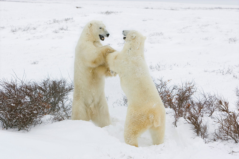 Polar Bears Playing. John Chapman.