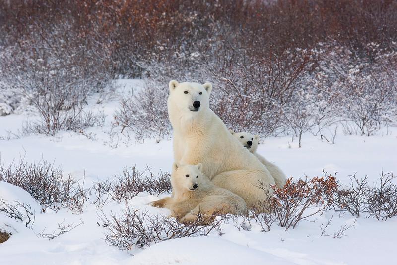 Polar Bear with Cubs. John Chapman.
