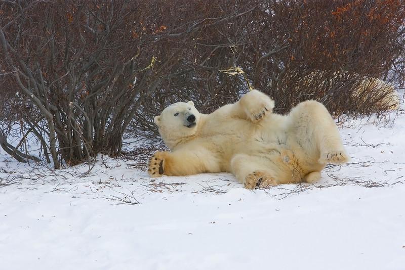 Polar Bear Resting. John Chapman.