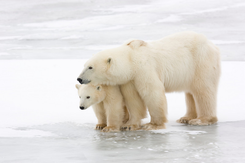 Polar Bear with Cub. John Chapman.