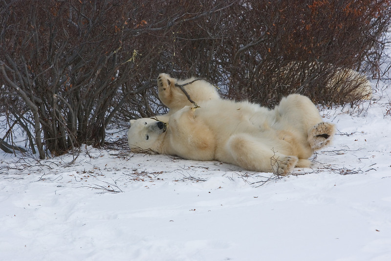 Polar Bear playing with a stick.