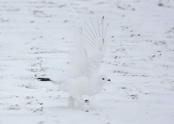 Ptarmigan wings open.