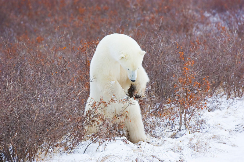 Polar Bear just about to pounce on a Lemming.