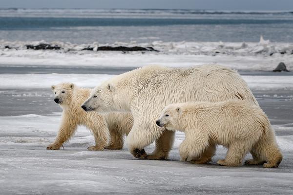 Polar Bear-Mother-Cubs