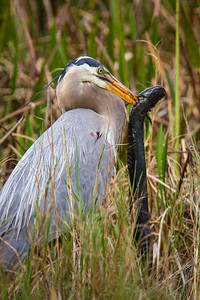 Great Blue Heron with Three-toed Amphiuma