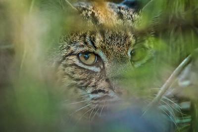 Peeking Bobcat