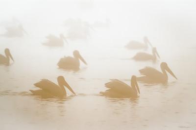 Pelicans in Fog