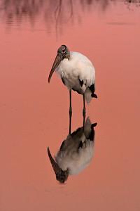 Wood Stork Reflection